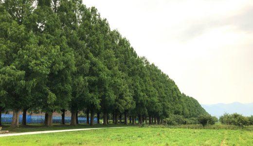【滋賀の絶景】メタセコイア並木は一度は行ってみたい滋賀の良スポットだ!